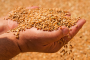 Us Food companies' interest in wheat production grows