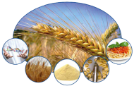 Coordinating research to improve durum wheat quality