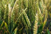 Spread of damaging wheat rust continues